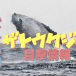 八丈島ザトウクジラの目撃情報【3.21更新】