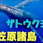 小笠原沖でザトウクジラの親子で泳ぐ映像が迫力満点💯