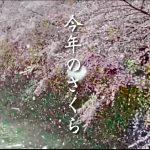 外出自粛で見れなかった【雪桜】をお花見代わりに見て欲しい