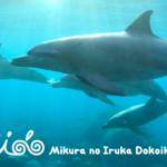 伊豆諸島で野生のイルカと一緒に泳ぐ事が出来る島「御蔵島」
